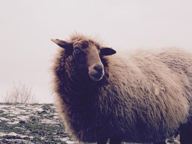 Elles débroussaillent une zone naturelle et nous fournissent en laine.